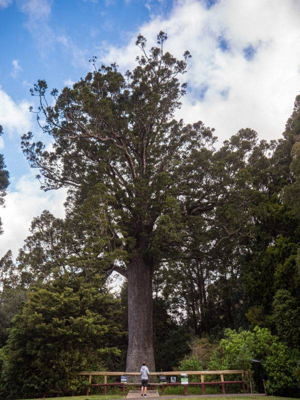 Kauri tree in front of the Warkworth museum