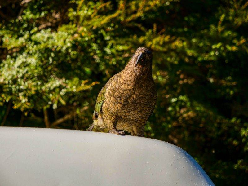 A Kea bird sitting on top of my Van
