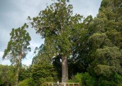 Kauri tree above Auckland