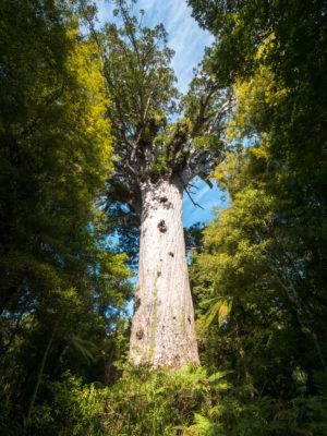 Tane Mahuta the god of the trees