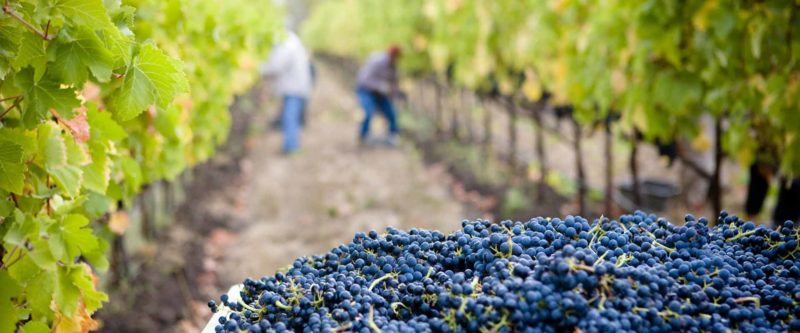 Work on a vineyard with your SSE Visa